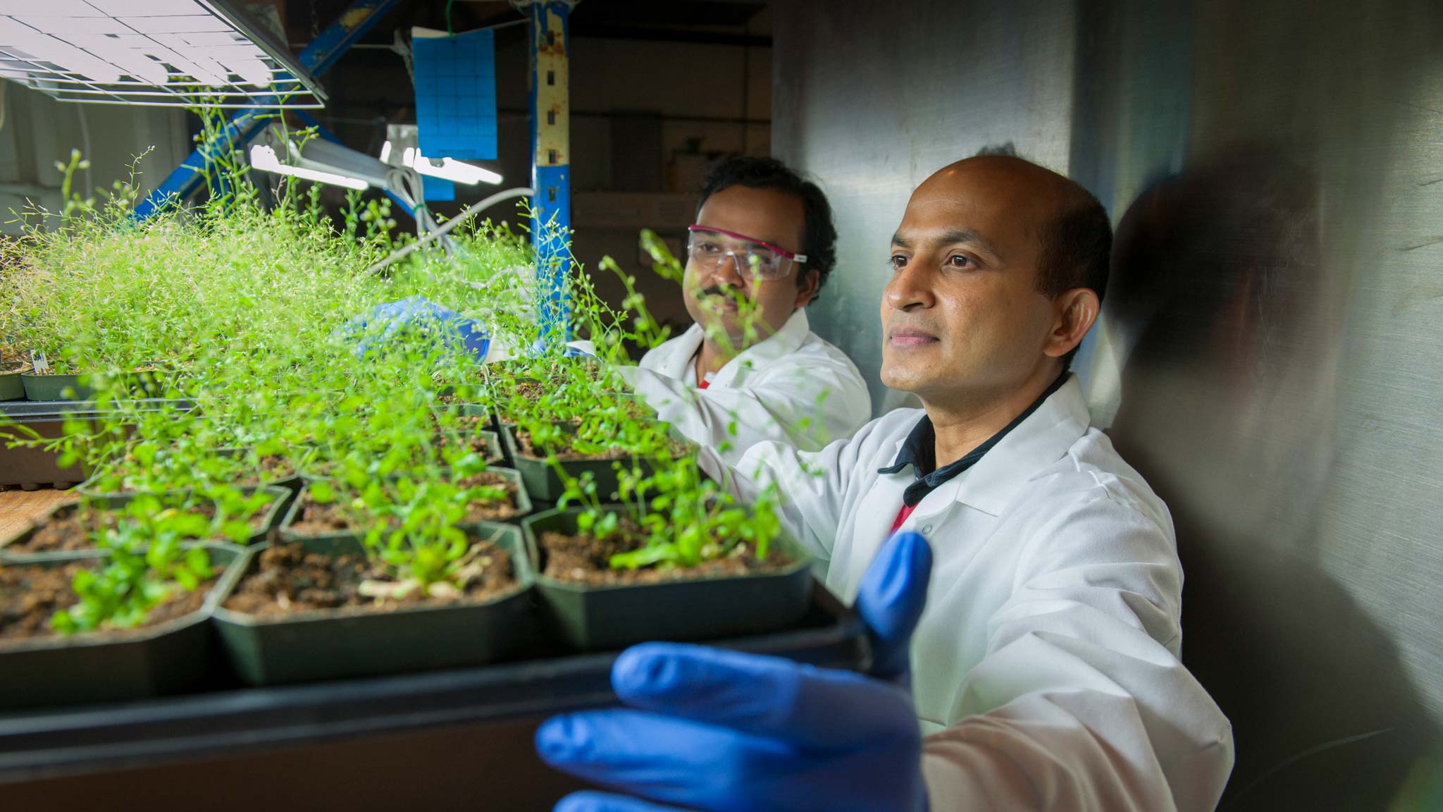 Venugopal Mendu adjusts a tray of plant specimens in his research lab